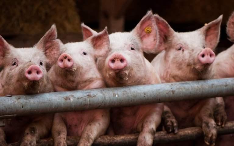 É por esse motivo que judeus e muçulmanos não comem carne de porco