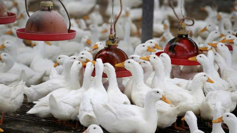 A China pode enviar 100 mil patos para conter a praga de gafanhotos no Paquistão