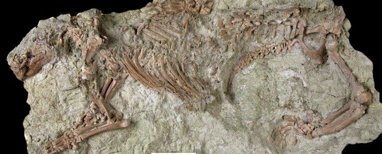 Esqueleto estranho descoberto pode ser o mamífero mais antigo descoberto no Hemisfério Sul