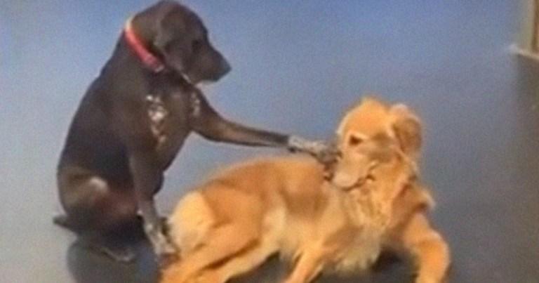 Cãozinho trabalha em abrigo, fazendo carinho em outros cães