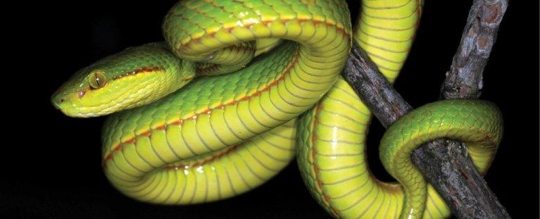 Nova espécie de serpente foi nomeada em homenagem a um dos fundadores de Hogwarts
