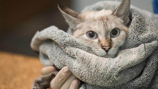 Dois gatinhos de Nova York foram infectados com o COVID-19