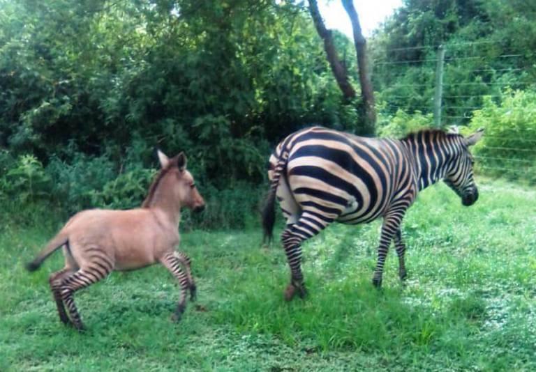 Uma zebra cruzou com um asno e o resultado foi esse