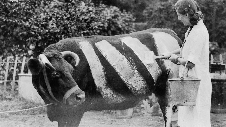 Por que Winston Churchill mandava pintar as vacas da Inglaterra nos anos 1940?