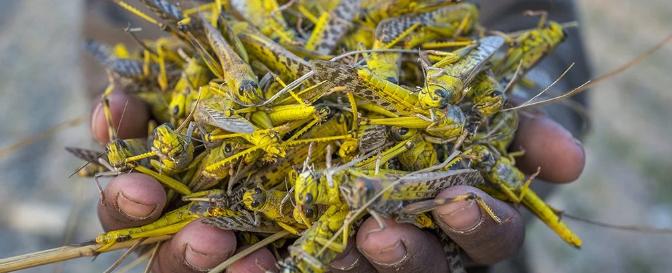A substância química que desencadeia enxames de gafanhotos finalmente foi descoberta