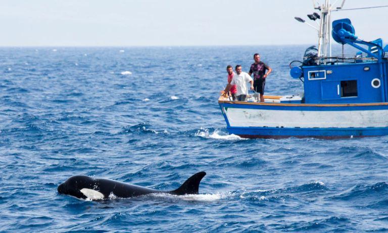 Gangue de baleias assassinas ferozes estão atacando barcos