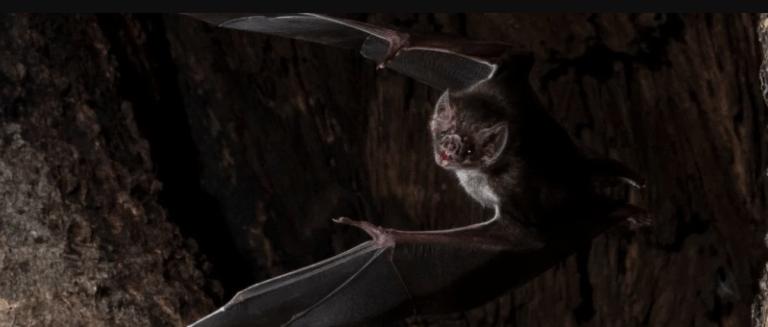 Os morcegos vampiros praticam distanciamento social quando se sentem doentes
