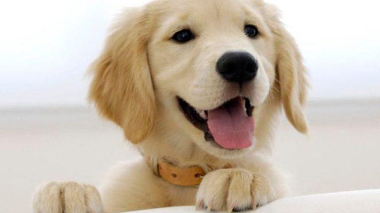 Cachorros podem preferir o rosto de outros cães ao invés dos humanos