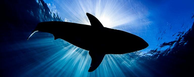 Tubarões-brancos estão desaparecendo da Cidade do Cabo e um predador pode ser o culpado