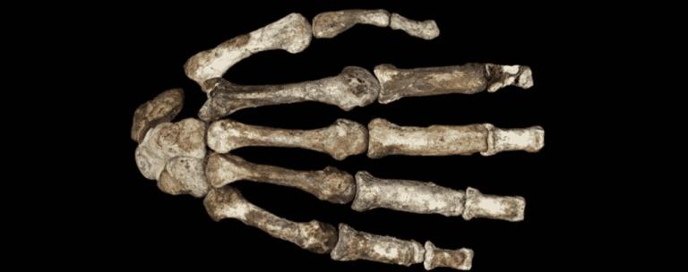 Evidências sugerem que humanos antigos tiveram ferramentas de pedra antes de polegares opositores
