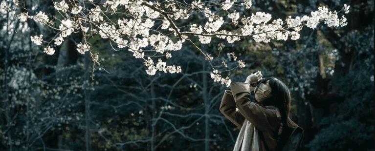 A mais recente temporada de flores de cerejeira em 1200 anos é por conta da mudança climática