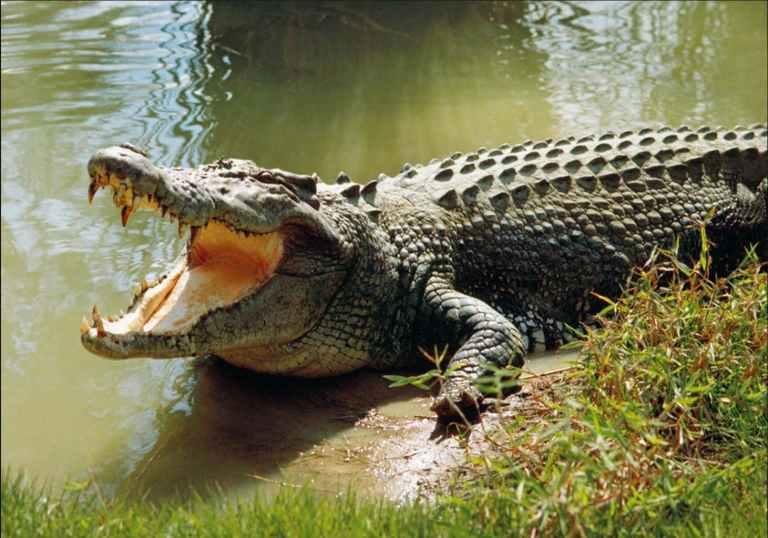 Por que os crocodilos mal mudaram ao longo de milhões de anos?