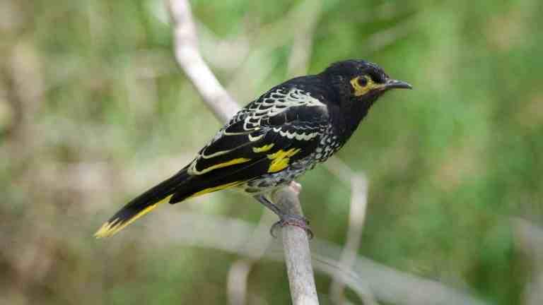 Espécie de ave canora entra em extinção por perder habilidade de canto