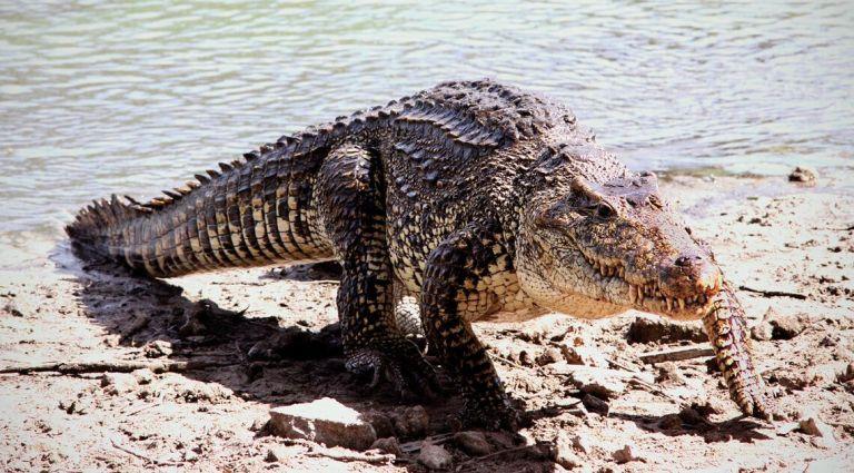 Esse crocodilo estranho com chifres pode representar um novo galho na árvore da vida
