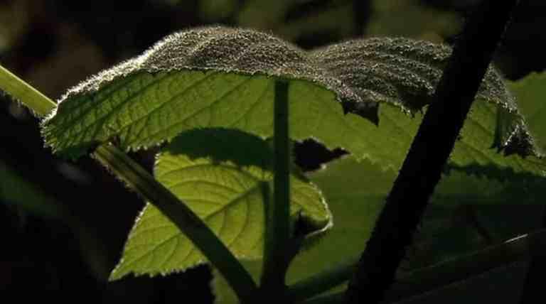Gympie-Gympie, a planta que incita o suicídio