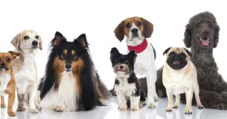 Essas foram as raças de cachorro preferidas pelos brasileiros em 2020