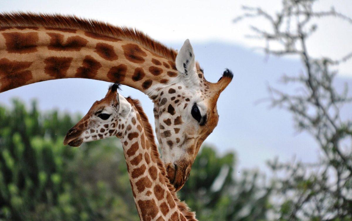 Girafa1 1400x878, Fatos Desconhecidos