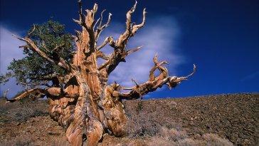 A mais velha, mais alta, mais larga das árvores do mundo fatos e eventos