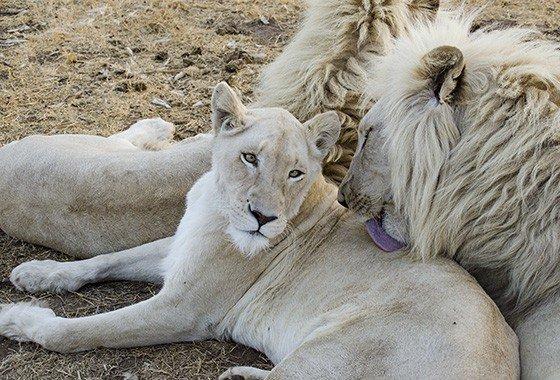 Leões brancos são raríssimos e existem apenas 12 em liberdade na África do Sul fatos e eventos (4)