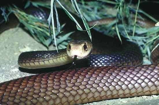 Cobras venenosas nova odessa fatos e eventos (6)