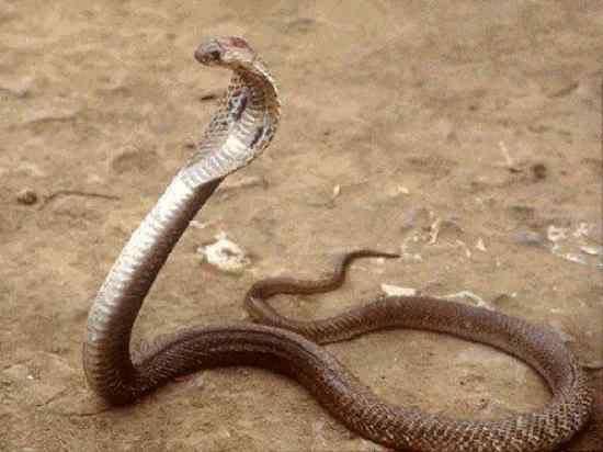 Cobras venenosas nova odessa fatos e eventos (8)