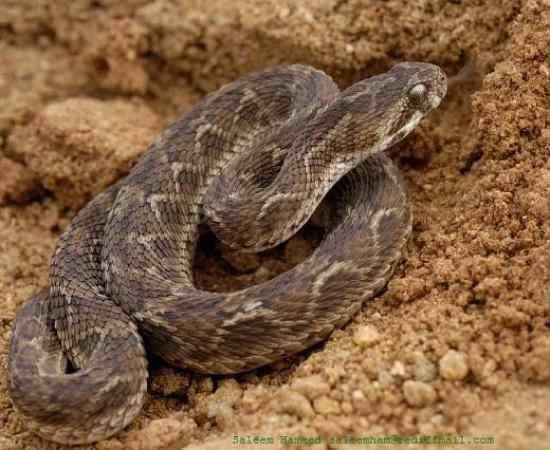 Cobras venenosas nova odessa fatos e eventos (9)