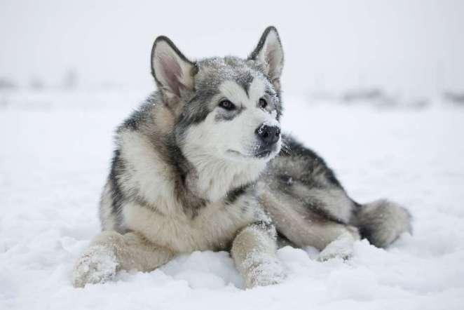 Cães que vivem muito bem na neve nova odessa fatos e eventos (5)