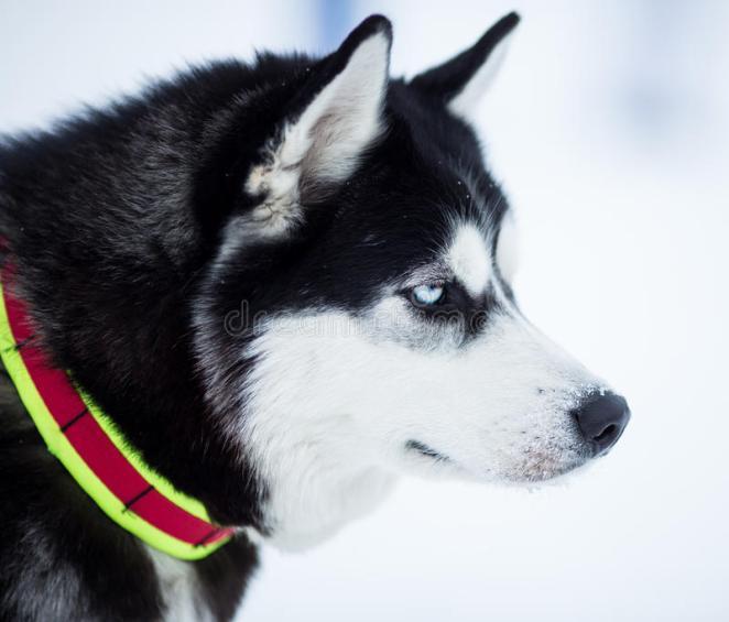 Cães que vivem muito bem na neve nova odessa fatos e eventos (12)