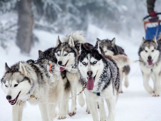 Cães que vivem muito bem na neve nova odessa fatos e eventos (13)
