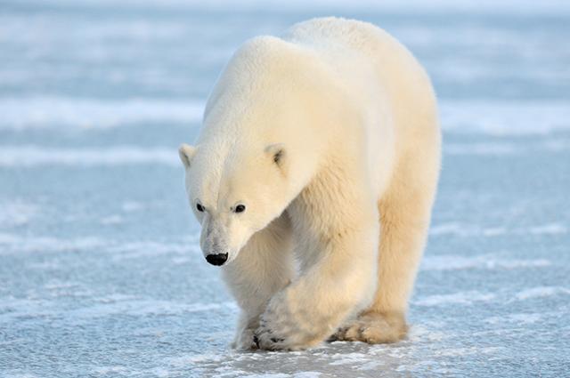 curiosidades sobre o Polo Norte nova odessa fatos e eventos (3)