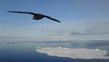 havhest barentshavet arktis