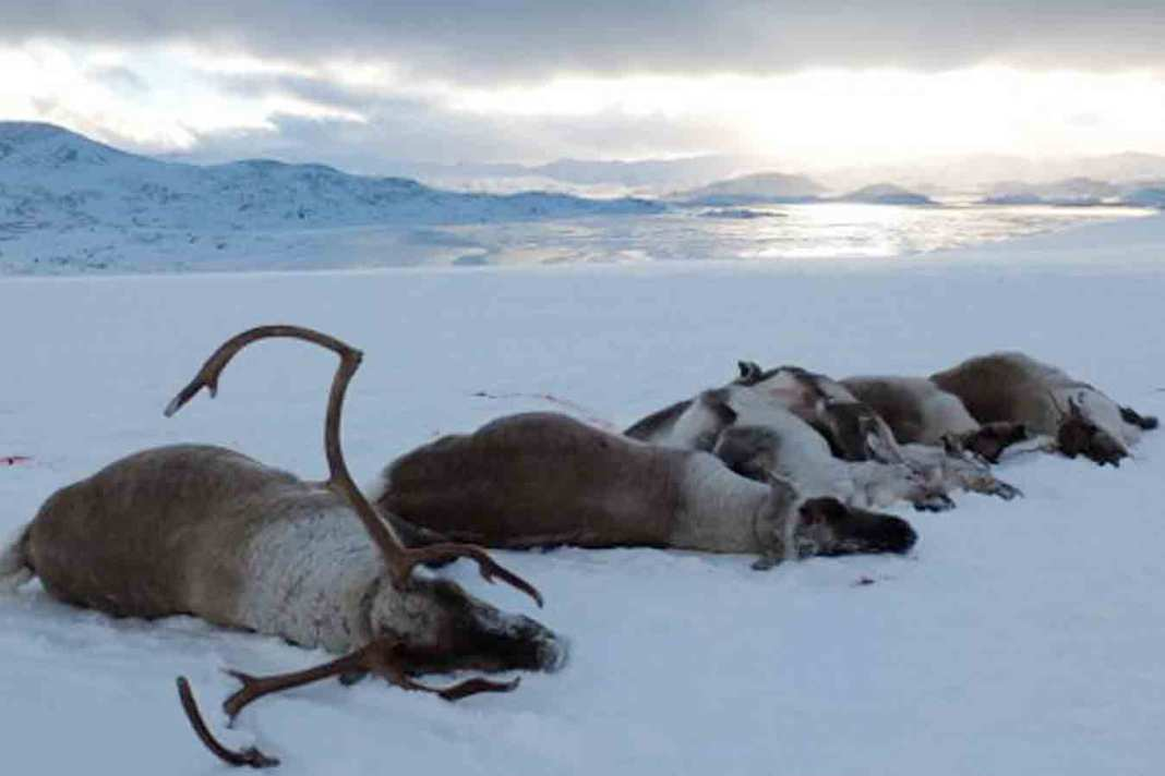 skrantesyke villrein nordfjella