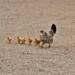 chicks-1572364_1280