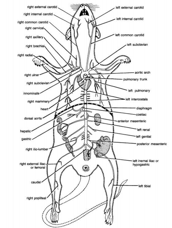 Arterial System Of Rat