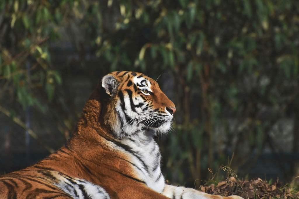 zoo, animal, tiger
