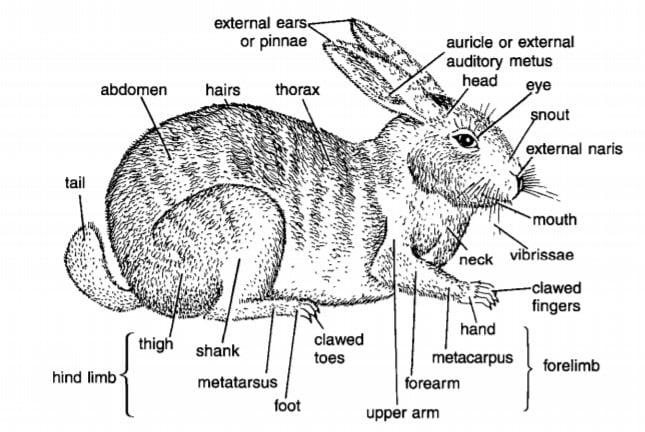 ORYCTOLAGUS : RABBIT