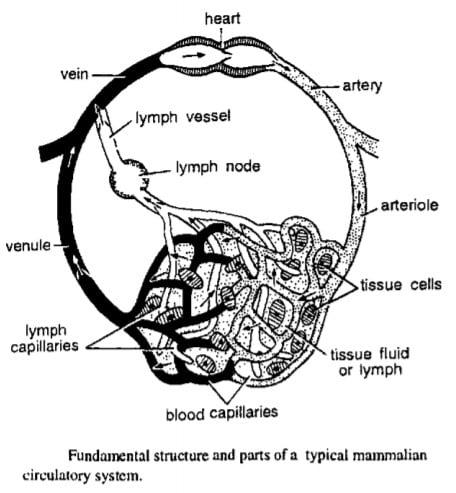 Comparative Anatomy of Hearts of Vertebrate