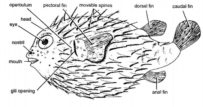 DIODON : PORCUPINE FISH 