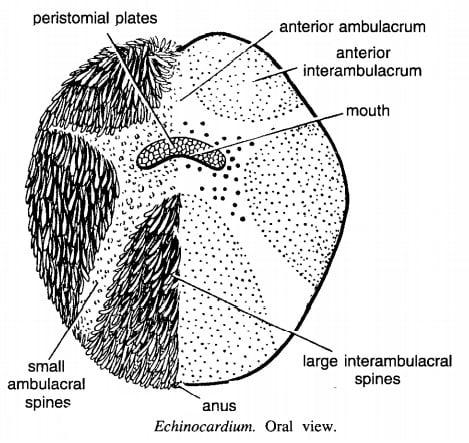 ECHINOCARDIUM