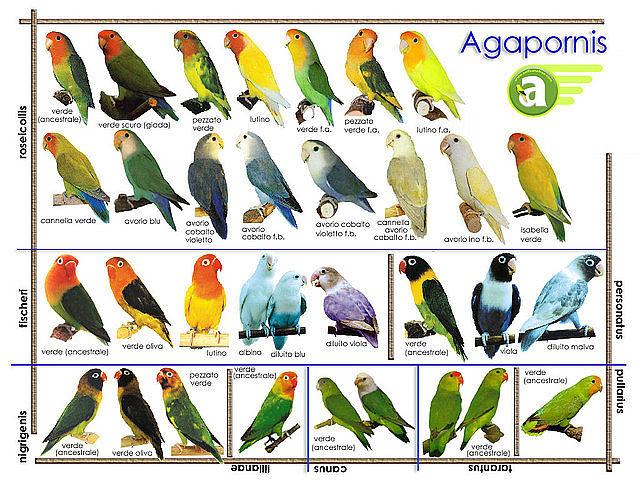agapornis-fenotipos