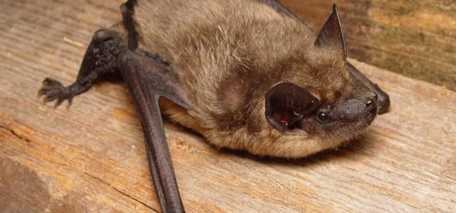 Confirmation d'un second cas de rage sur une chauve-souris en Belgique