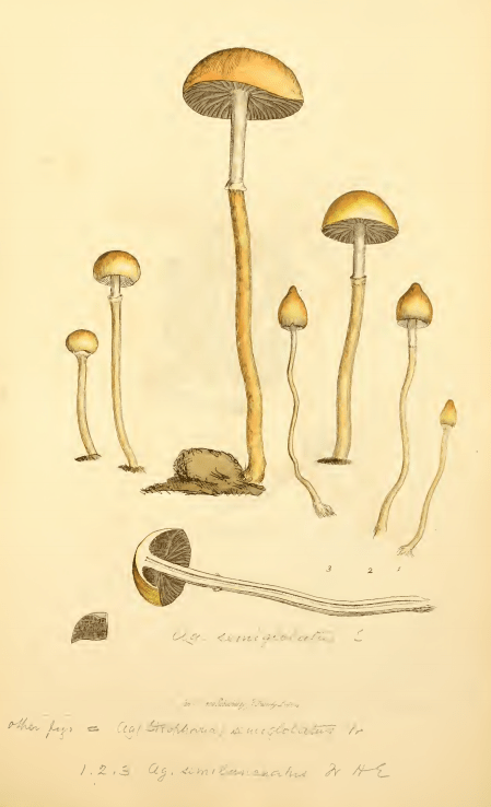 Sowerby J. (1803). Coloured Figures of English Fungi or Mushrooms. 3. London: J. Davis. Table  248.