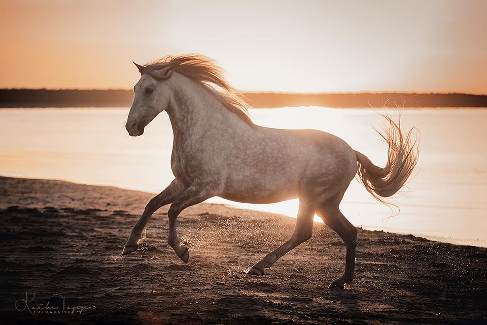 cheval au galop sur la plage, en coucher de soleil