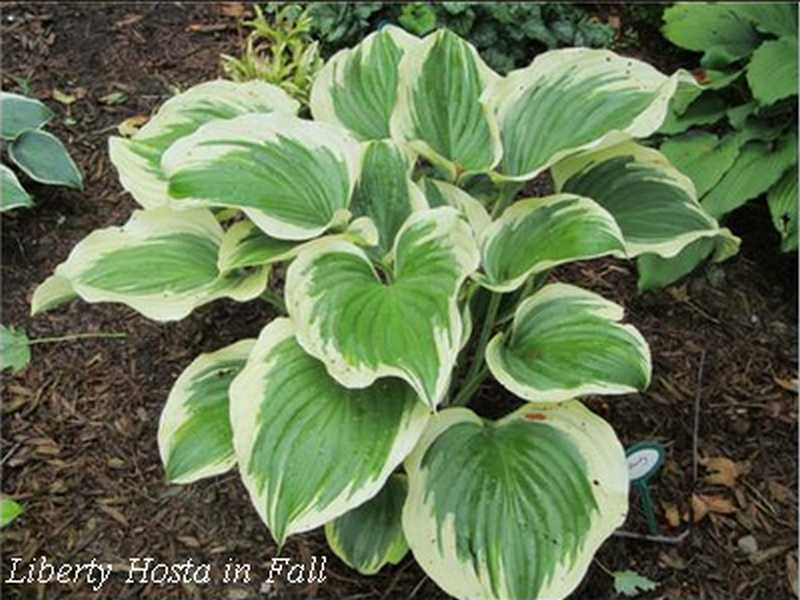 Liberty Hosta Elegant And Showy Favorite Perennials