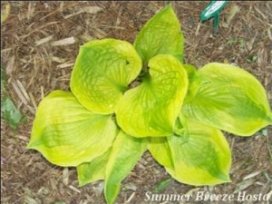 summer-breeze-hosta-400