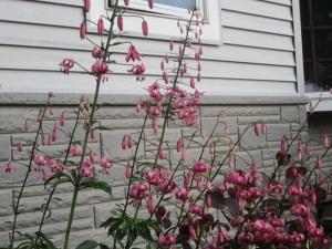 Lilium Martagon-Species