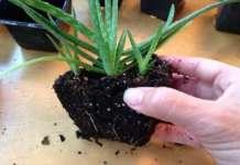 Oksijen Bombası: Bu Bitkiyi İle Evinize taze hava sağlayın!