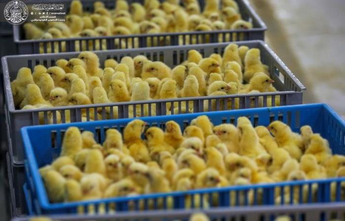 """شركة فيض القسيم تعلن إنتاج 15 ألف طير كوجبة أولى من أفراخ الدجاج في مفقس """"فيض القسيم"""""""