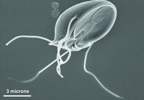 Resultado de imagem para protozoário flagelado