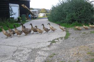 Ducks on Etherley Farm, Ockley, Surrey